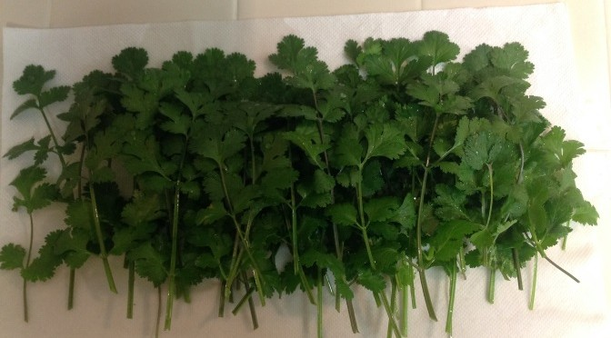 First Cilantro Harvest and Process